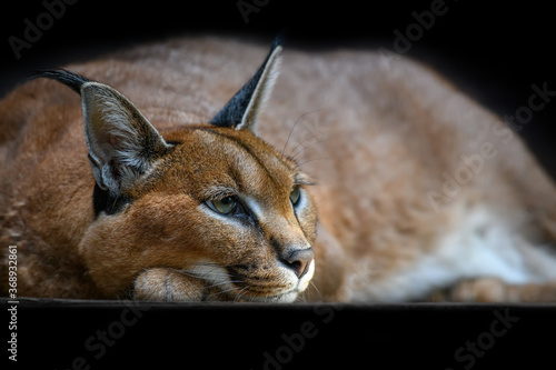 Caracal lynx over black background