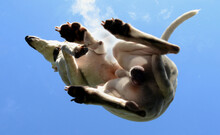 Underneath A White Whippet Sit...