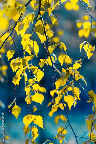 żółte liście brzozy - 368942281