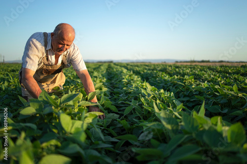 Senior hardworking farmer agronomist in soybean field checking crops before harvest Canvas Print