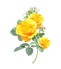 Branch Of Rose With Yellow Flowers