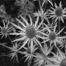 Eryngium Sea Holly Plant