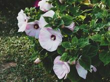 Hibiscus Moscheutos | Rose Mal...