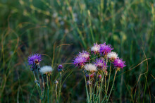 White-purple Flowers Of Cornfl...