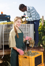 Male And Female Vineyard Workers Filling Truck With Gathered Harvest Of Ripe White Grapes