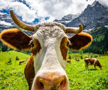 Cows At The Eng Alm In Austria