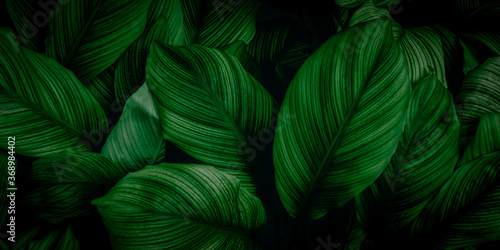 Obraz leaves of Spathiphyllum cannifolium, abstract green texture, nature background, tropical leaf - fototapety do salonu