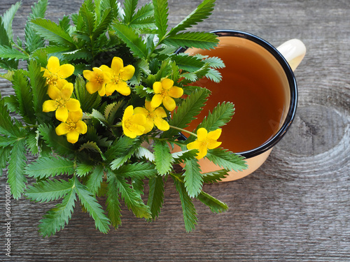 Billede på lærred Medical plant potentilla anserina with yellow flowers and herbal tea in an enameled mug on a wooden stand, top view