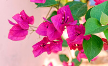 Vibrant Dark Pink Bougainvillea Flowers On Rough Plastered Wall Background