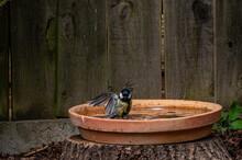 Great Tit Bird, Parus Major, Washing Feathers In A Bird Bath