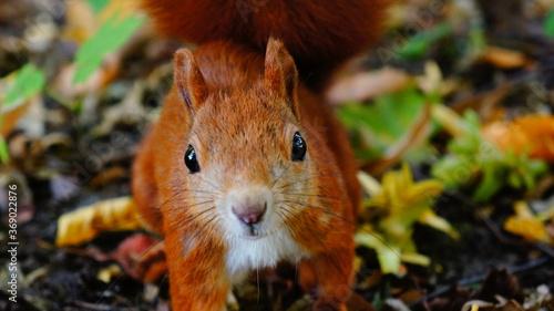 Eichhörnchen im Herbst Fototapete