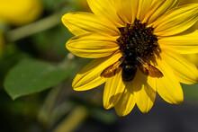「愛知県」ひまわりにとまるクマンバチ