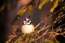Small Songbird Europen Crested...