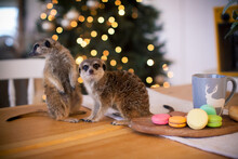 The Meerkat Or Suricate Cubs In Decorated Room With Christmass Tree.