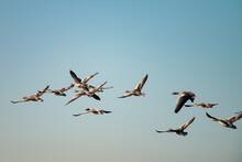 Several Greylag Goose Flying T...