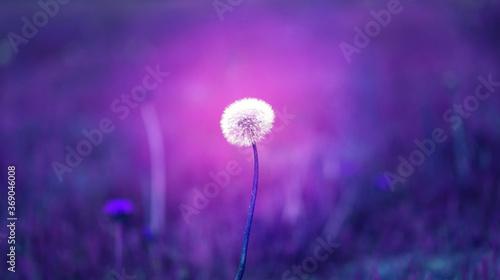 Fototapety, obrazy: Beautiful photo background with purple dandelion