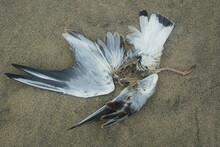 Dead Gull On Lying On A Sandy Beach. Environmental Disasters And Wildlife. Dead Seagull On Lying On A Sandy Beach