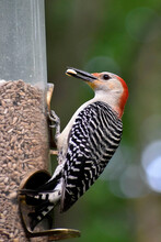 Female Red-bellied Woodpecker At Feeder
