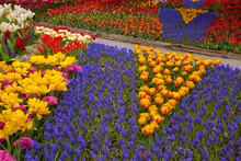 Colorful Display Of Tulips And Grape Hyacinths In Skagit Valley Near Mt. Vernon, WA