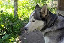 Husky Dog Shot In Profile Outd...