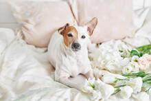 Flowers Composition. Mother's Day, Valentine's Day, February 14th. Copy Space. Congratulatory Template. Wedding Invitation. Flat Lay. Dog Jack Russell Terrier On Bed. Happy Birthday!