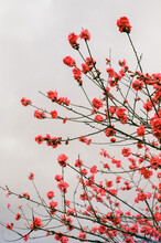 Red Blossoms On A Cloudy Day