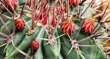 Cactus With Flower Buds