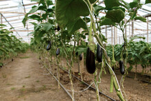 Eggplants Growing In Deserted ...