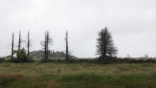 Dying Trees On A Hillside