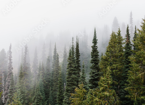 Dense fog over lush old growth forest - 369102815