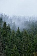 Mysteriouse Fog Above Spruce F...