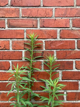 Weed Growing In Front Of Brick...