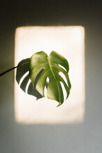 Large Monstera Leaf In A Frame Of Warm Sunlight
