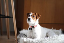 Parson Russell Terrier Laying ...