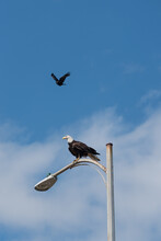 Crow Bothering Eagle