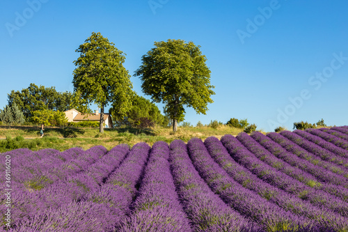 Fototapety, obrazy: Lavender fields in Valensole in South of France