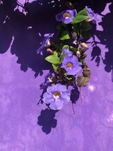 Purple Wall With Purple Morning Glory Flowers