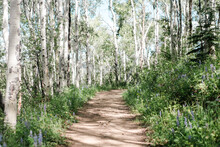 Footpath In Birch Tree Forest