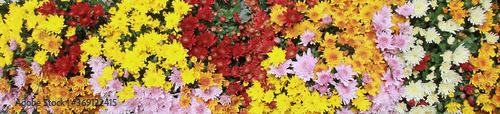 Fényképezés chrysanthèmes multicolor