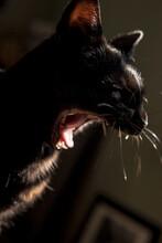 Yawning Black Cat
