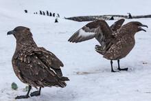 Two Skua Feeding On Penguin Eggs