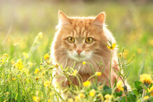 Portrait Red Fur Cat In Green Summer Grass With Yellow Flowers Background