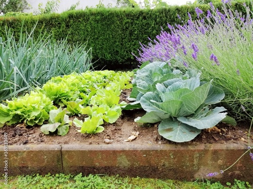 Canvas Print Growing vegetable, onions, green salad, cabbage and lavender