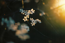 Detail Of Blossom At Sunset