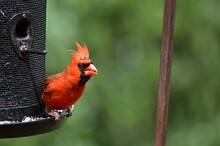 A Red Cardinal Bird Perched On...