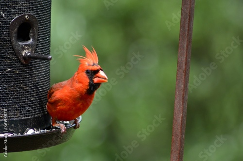 A red cardinal bird perched on a feeder Canvas Print