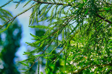 Dew Drops On Evergreen Trees I...