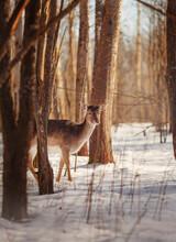 Deer Behind Trees In Winter Forest