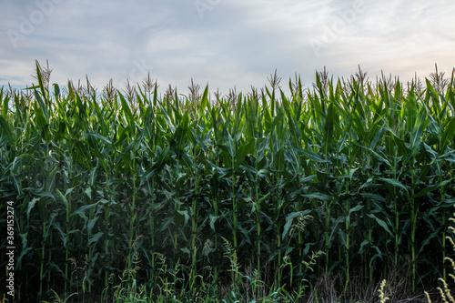Canvas Print Green cornfield