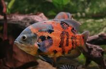 TIGER OSCAR FISH Astronotus Ocellatus, CICHLID OF SOUTH AMERICA